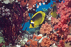Red Sea racoon butterflyfish with soft corals on reef.  Egypt, Red Sea.