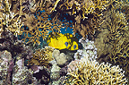 Golden butterflyfish with fire coral on reef.  Egypt, Red Sea.