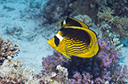 Red Sea racoon butterflyfish on coral reef.  Egypt, Red Sea.