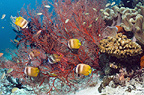 Klein's butterflyfish feeding on gorgonian polyps.  Raja Ampat, West Papua, Indonesia.
