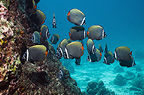 Redtail or Collared butterflyfish.  Andaman Sea, Thailand.