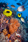 Ovalspot butterflyfish and Eastern triangle butterflyfish over coral reef with soft corals.  Indonesia.
