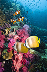 Klein's butterflyfish swimming over coral reef with soft corals and Clown anemonefish.  Andaman Sea, Thailand.