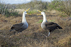 Waved Albatross birds.  Pair at nest seen in courtship ritual display.  Espanola Island, Galapagos Islands, Pacific.