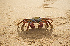 Sally Lightfoot Crab, (Red Rocks Crab) walking on beach.  Bartolome Island, Galapagos Islands, Pacific.