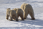 Polar bear mother and twin cubs seen from behind, Cape Churchill, Manitoba, Canada