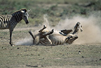 Zebra rolling in the dust, her calf looking on, Amboseli, Kenya