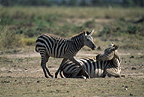 Zebra mother and calf, Amboseli, Kenya