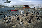 Gentoo penguins nesting adjacent to research station, Antarctica