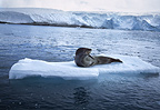 Leopard seal on ice floe, Palmer station, Antarctica