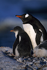 Gentoo penguin with chick, Peterman Island, Antarctica