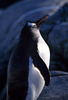 Gentoo penguin shaking head, Peterman Island, Antarctica