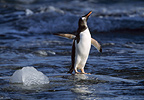 Gentoo penguin shaking off water, Peterman Island, Antarctica