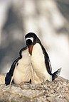 Gentoo penguin feeding chick, Peterman Island, Antarctica