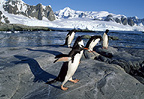 Gentoo penguins, Peterman Island, Antarctica