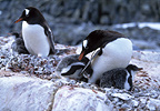 Gentoo penguins with chicks, Wiencke Island, Antarctica