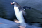 Gentoo penguin walking, slow shutter speed, Wiencke Island, Antarctica