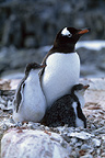 Gentoo penguin with chicks, Wiencke Island, Antarctica