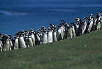 Magellanic penguins, Carcass Island, Falklands