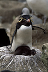 Rockhopper penguin with chick, New Island, Falklands
