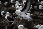 Black-browed Albatross, Steeple Jason, Falklands