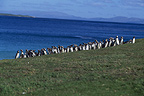 Magellanic penguins, Steeple Jason, Falklands