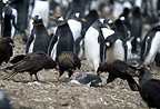 Striated caracaras and Gentoo penguins, Steeple Jason, Falklands