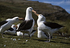 Black-browed albatross, West Point Island, Falklands