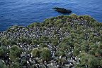 Macaroni penguin colony, Cooper bay, South Georgia
