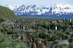 King penguin colony, Salisbury Plain, South Georgia.