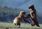 Young brown bears play-fighting, Katmai National Park, Alaska
