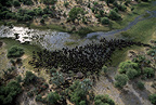 Herd of buffalo seen from the air, Okavango delta. Botswana