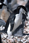 Chinstrap penguin with chick, Cooper Bay, South Georgia