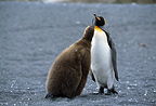 King penguin and chick, Gold Harbour, South Georgia