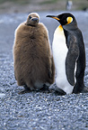 King penguin with chick, St Andrew's Bay, South Georgia