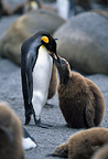 King penguin regurgitating fish to feed chick, St Andrew's Bay, South Georgia