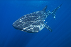 Whale Shark, Honda Bay, Palawan, The Philippines