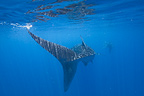 Whale Sharks, Honda Bay, Palawan, The Philippines