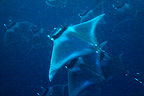Manta rays, Puerto Princesa Bay, The Philippines
