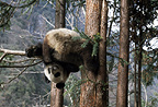 Giant panda in a tree, Sichuan, China