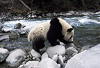 Giant panda walking along riverbank, Sichuan, China