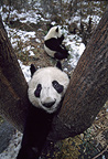 Giant panda climbing tree, Sichuan, China