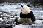 Giant panda on riverbank, Sichuan, China