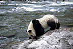 Giant Panda alongside river, Sichuan, China