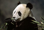 Giant Panda eating bamboo, Sichuan, China