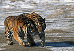 Siberian Tigers, Northern China