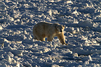 Polar bear, Cape Churchill, Manitoba, Canada