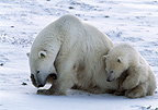 Polar bears, Cape Churchill, Manitoba, Canada