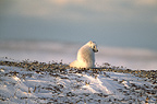 Arctic fox, Cape Churchill, Manitoba, Canada