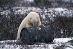 Polar bear, Cape Churchill, Manitoba, Canada.